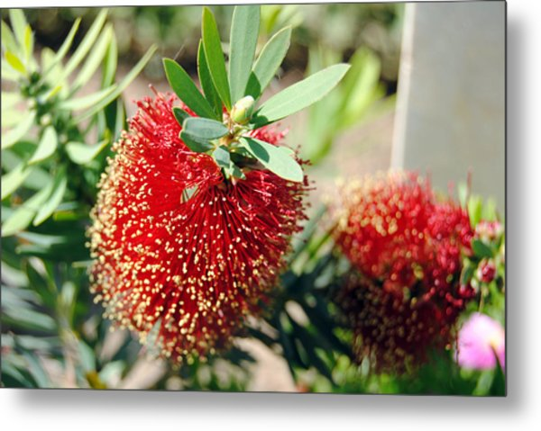 Callistemon - Bottle Brush 4 Metal Print