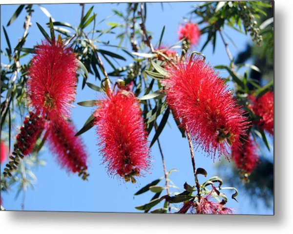 Callistemon - Bottle Brush 3 Metal Print
