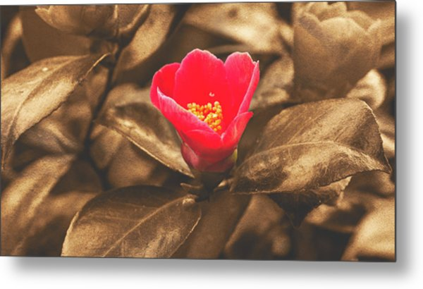Metal Print featuring the photograph Red Flower On Sepia Background by Jacek Wojnarowski