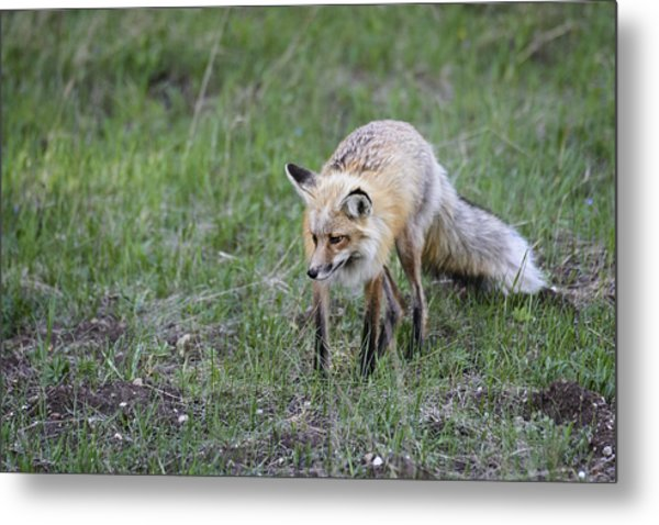 Metal Print featuring the photograph Red Fox Hunting by John Gilbert
