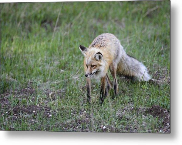 Red Fox Hunting Metal Print