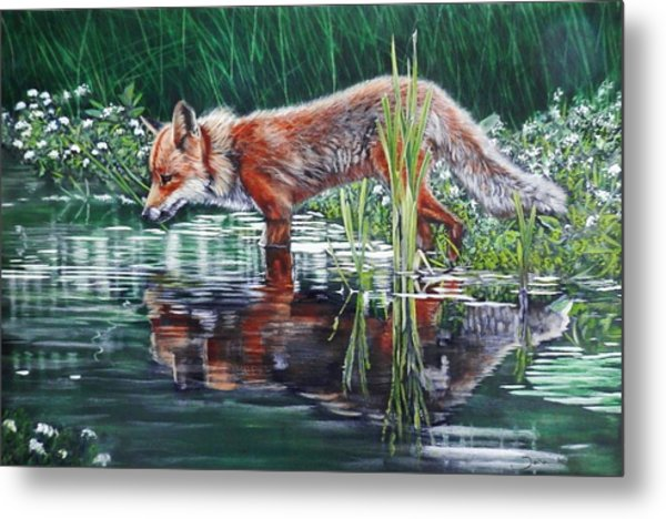 Red Fox Reflecting Metal Print