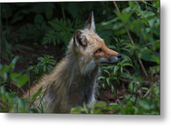 Red Fox In The Forest Metal Print