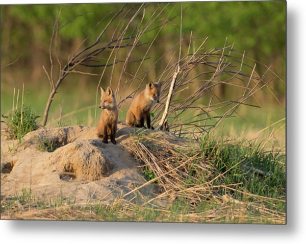 Red Fox Kits Keeping Watch Metal Print