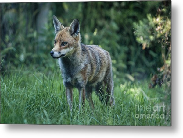 Red Fox Metal Print by Philip Pound
