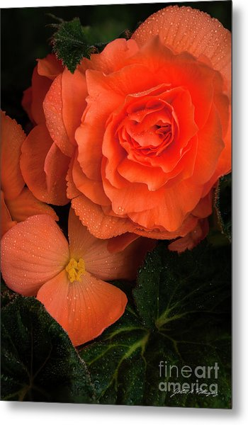 Red Giant Begonia Ruffle Form Metal Print