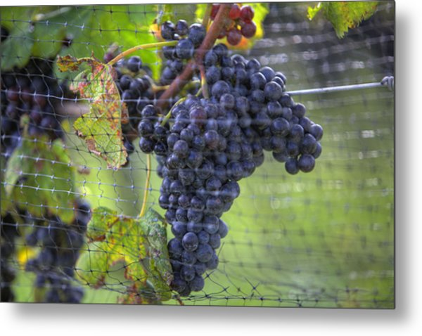 Red Grapes  Metal Print