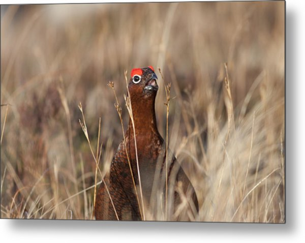 Red Grouse Calling Metal Print