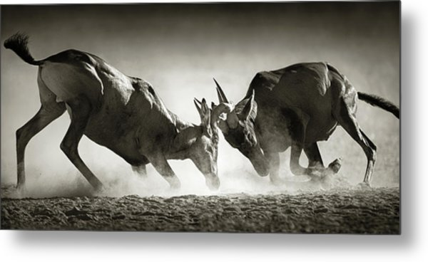 Red Hartebeest Dual In Dust Metal Print