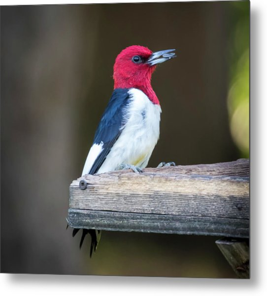 Metal Print featuring the photograph Red-headed Woodpecker With Seed  by Ricky L Jones