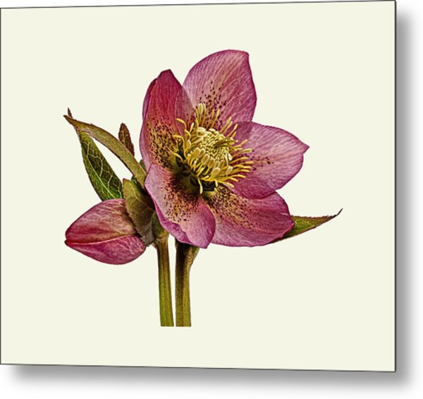 Metal Print featuring the photograph Red Hellebore Cream Background by Paul Gulliver