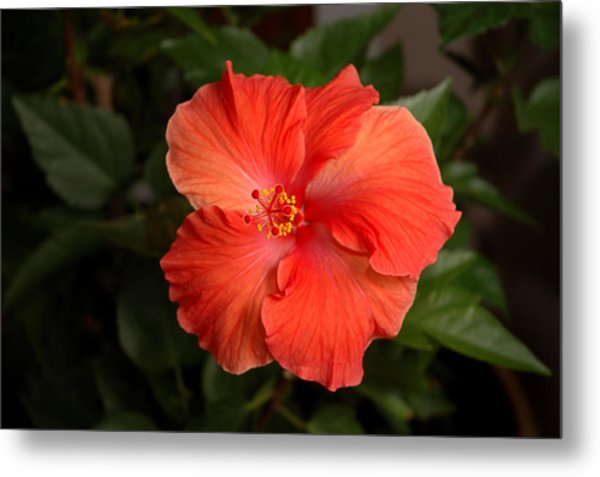 Red Hibiscus 2 Metal Print