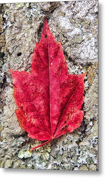 Red Leaf, Lichen 8797 Metal Print