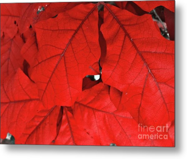 Red Leaves  Metal Print by Rachel Hannah