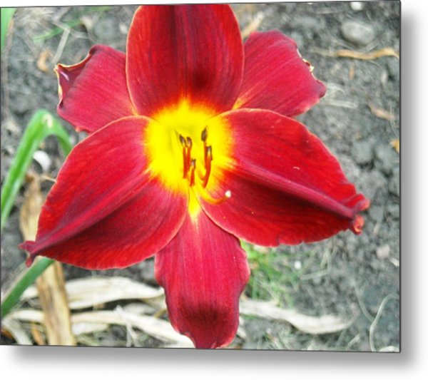 Red Lily Metal Print by Ward Smith