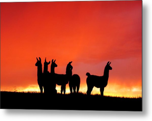 Red Llama Sunset 1 Metal Print