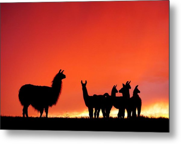 Red Llama Sunset 2 Metal Print
