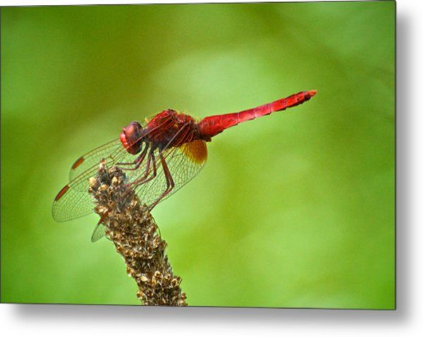 Red Male Dragonfly Crocothemis Erythraea Perching Metal Print by Igor Voljch