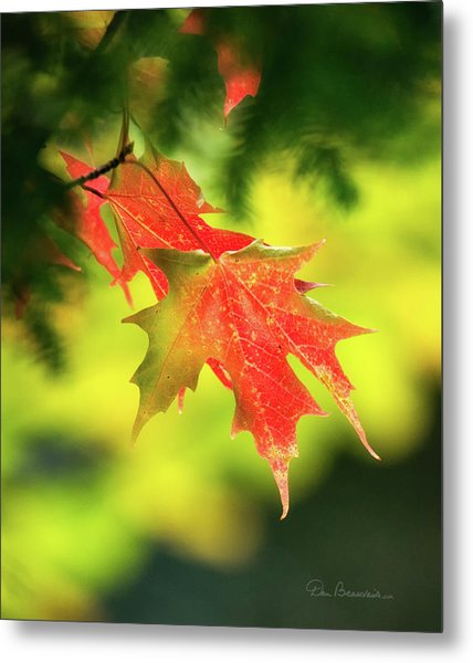 Red Maple Leaves 4983 Metal Print