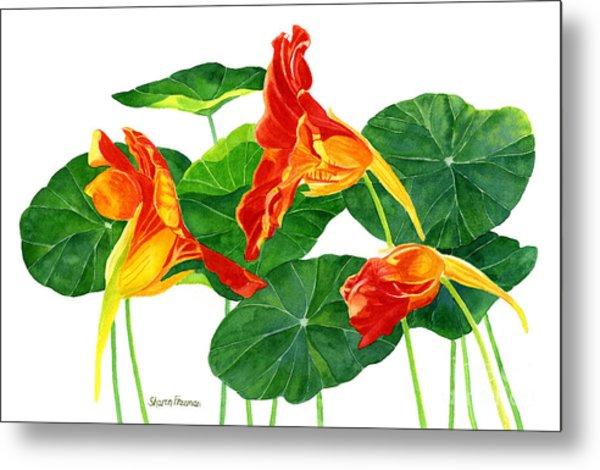 Red Orange Nasturtiums With Leaves Metal Print
