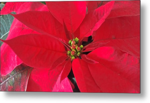 Red Poinsettia Metal Print