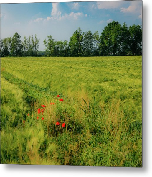 Red Poppies On A Green Wheat Field Metal Print