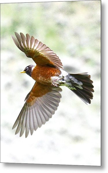 Red Robin In Flight Metal Print by Amy G Taylor