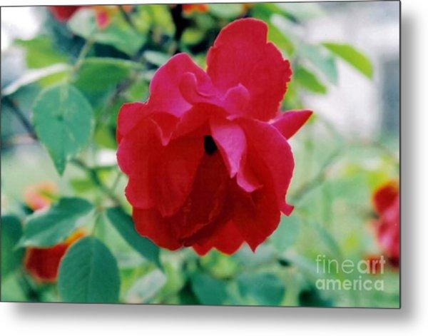 Red Rose Metal Print by Emily Kelley