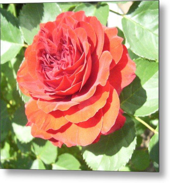 Red Rose Metal Print by Lisa Roy