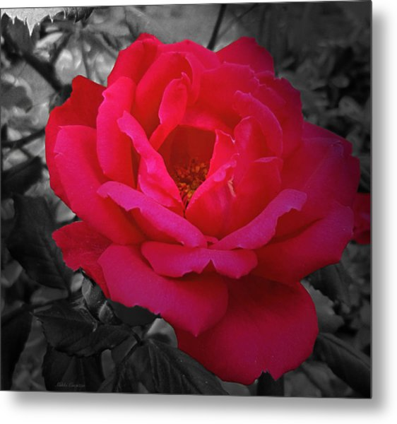 Red Rose On Black And White Metal Print