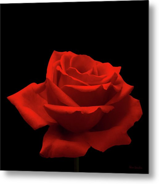 Red Rose On Black Metal Print