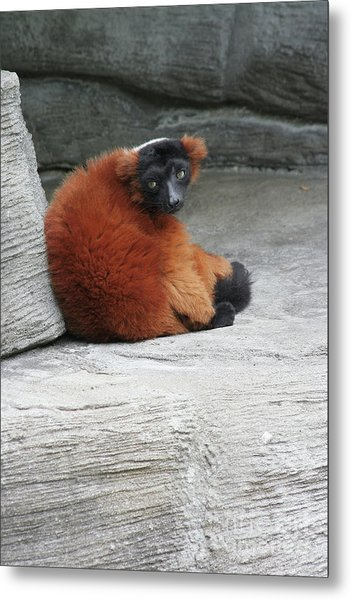 Red Ruffed Lemur Metal Print