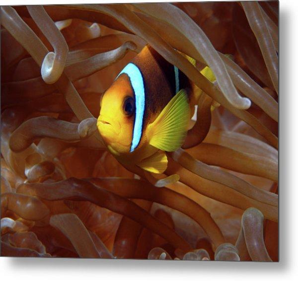 Red Sea Clownfish, Eilat, Israel 8 Metal Print