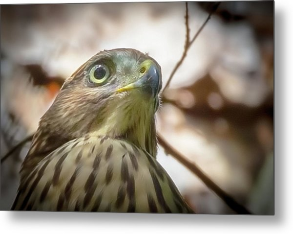Red-shouldered Hawk Fledgling 3 Metal Print