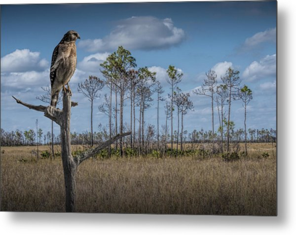 Red Shouldered Hawk In The Florida Everglades Metal Print