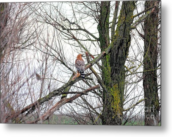Red Shouldered Hawk Metal Print by Wingsdomain Art and Photography