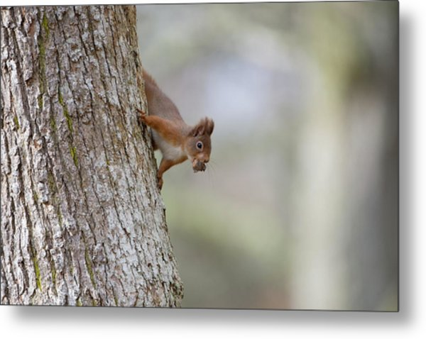 Red Squirrel Climbing Down A Tree Metal Print