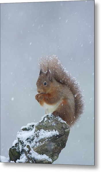 Red Squirrel In A Blizzard Metal Print