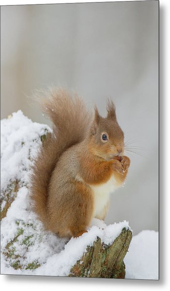Red Squirrel In The Snow Side On Metal Print
