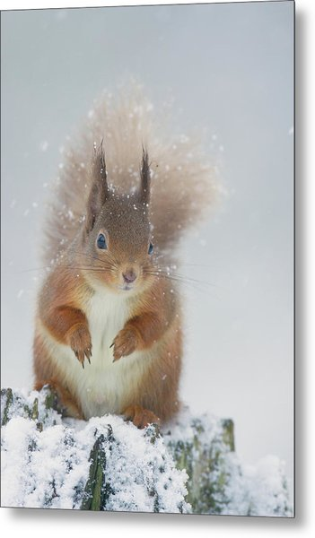 Red Squirrel In Winter Metal Print