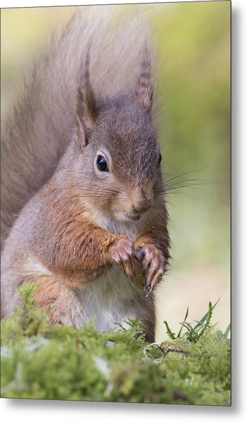 Red Squirrel - Scottish Highlands #1 Metal Print