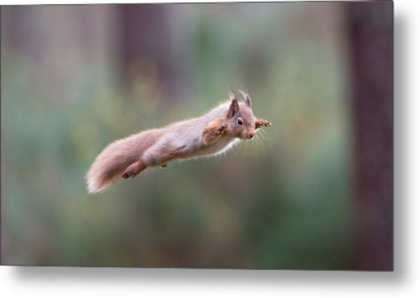 Red Squirrel Leaping Metal Print