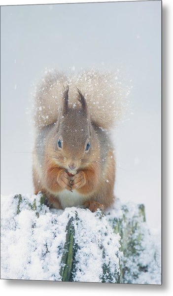 Red Squirrel Nibbles A Nut In The Snow Metal Print