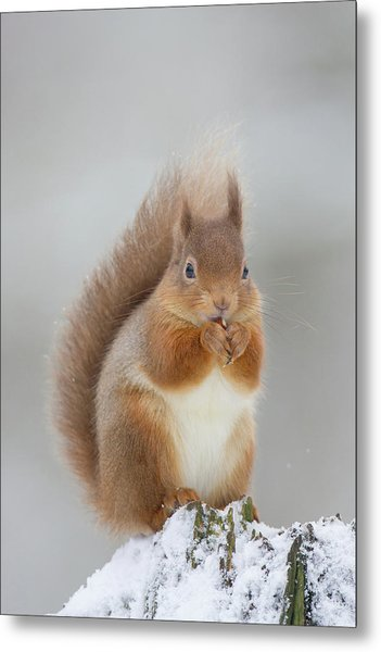 Red Squirrel Nibbling A Hazelnut In The Snow Metal Print