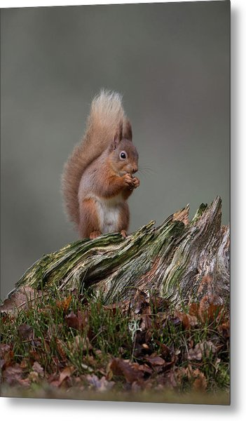 Red Squirrel Nibbling A Nut Metal Print