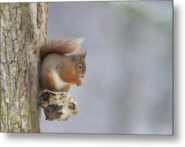 Red Squirrel On Tree Fungus Metal Print