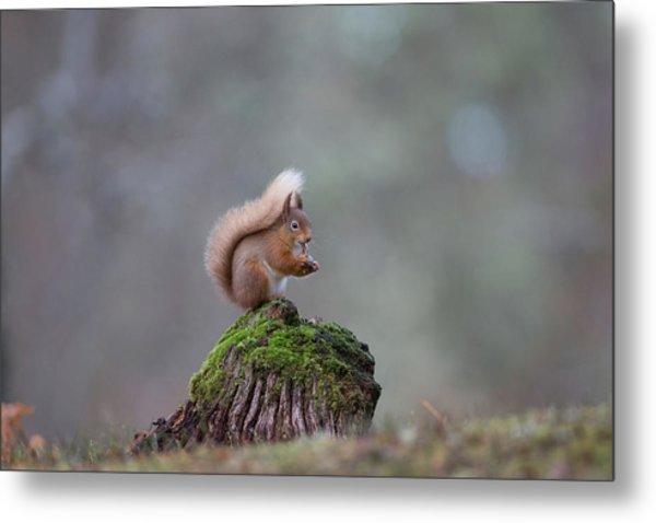 Red Squirrel Peeling A Hazelnut Metal Print