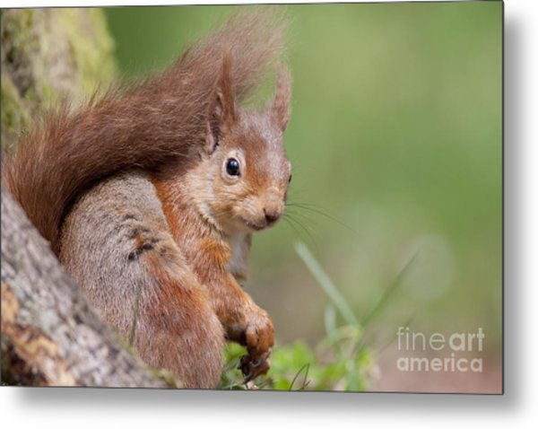 Red Squirrel - Scottish Highlands  #17 Metal Print