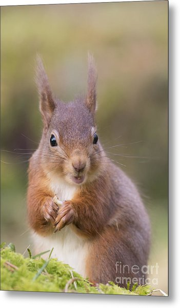 Red Squirrel - Scottish Highlands #18 Metal Print