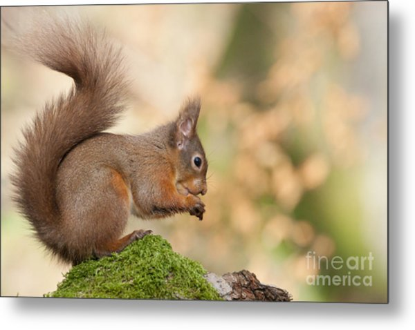 A Moment Of Meditation - Red Squirrel #27 Metal Print